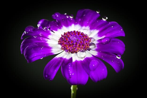 Cineraria fleurs violettes, roses et blanches