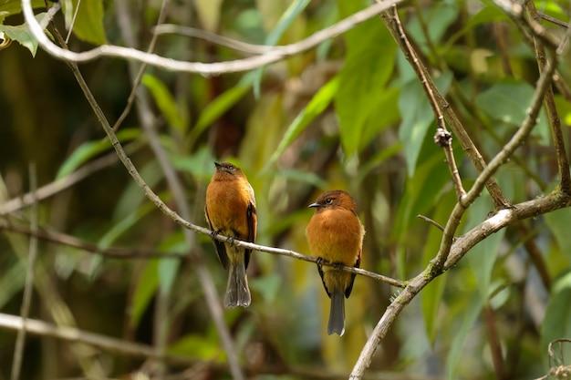 Cinnamon flycatcher (pyrrhomyias cinnamomeus) beau spécimen perché seul sur certaines branches dans la forêt de nuages. uchubamba - pérou