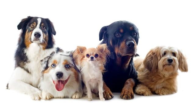 Cinq chiens sur blanc