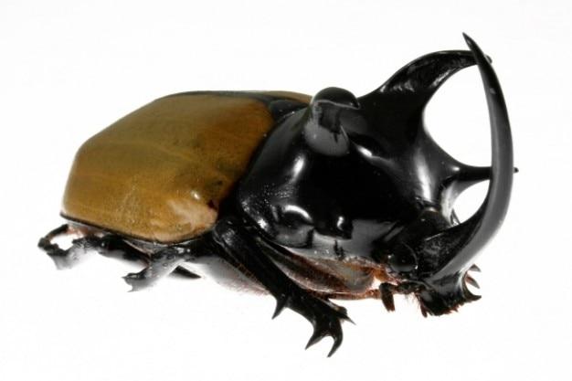 Cinq cornes de rhinocéros scarabée