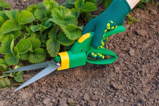 Des ciseaux d'herbe à la main vêtus d'un gant vert coupent les feuilles du fraisier.