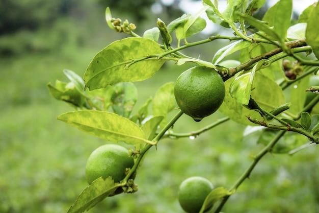 Citron sur arbre pendant la saison des pluies à la ferme.