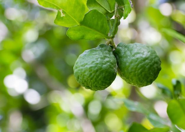 Citron vert ou bergamote