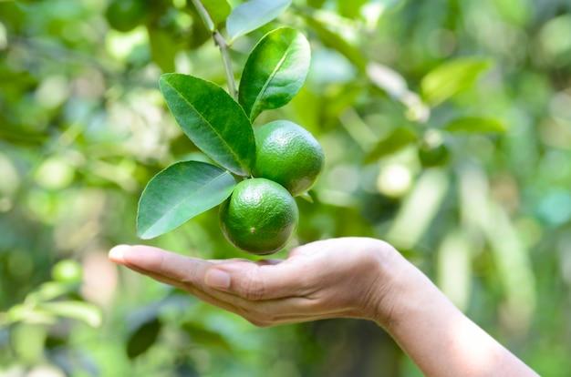 Citron vert sur une branche dans un verger biologique avec fond vert naturel