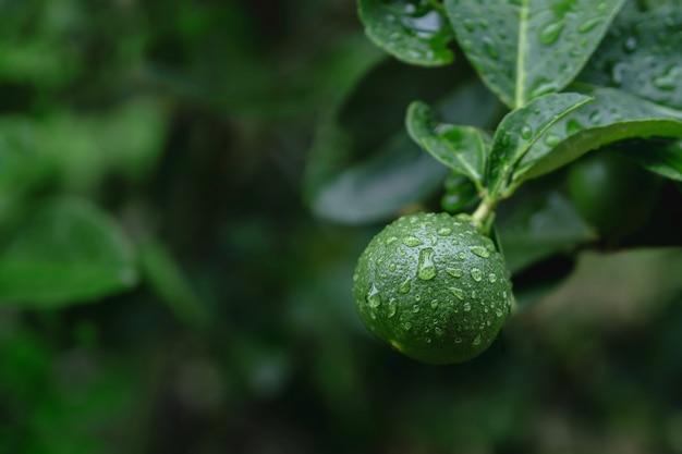 Citron vert frais dans une ferme biologique. originaire de l'asie du sud-est. tourné le jour de pluie ou après l'arrosage.