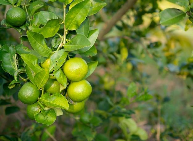 Citron vert sur le tronc et l'arrière-plan flou
