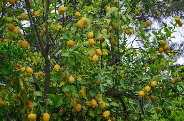 Citronnier plein de citrons mûrs jaunes