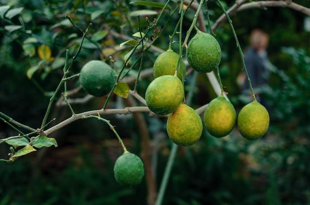 Citrons sur une branche avec des feuilles vertes dans un gros plan de pépinière. les agrumes juteux frais mûrissent.