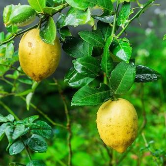 Citrons jaunes suspendus sur l'arbre
