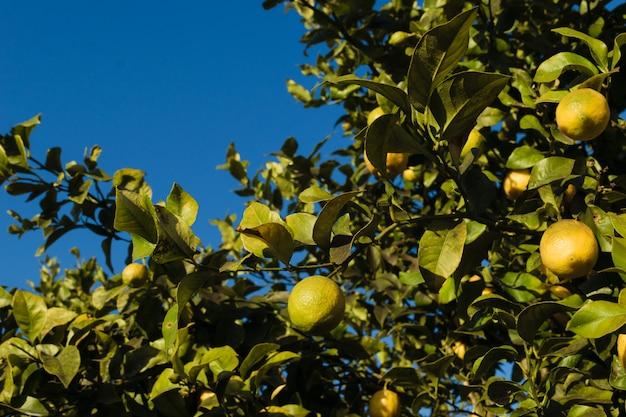 Citrons suspendus à l'arbre sur un fond de ciel bleu avec espace