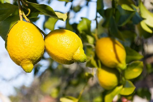 Citrons suspendus à un arbre