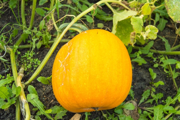 Une citrouille orange, dans un lit de feuillage vert, est sur le point d'être prête pour la récolte. une scène d'automne typique