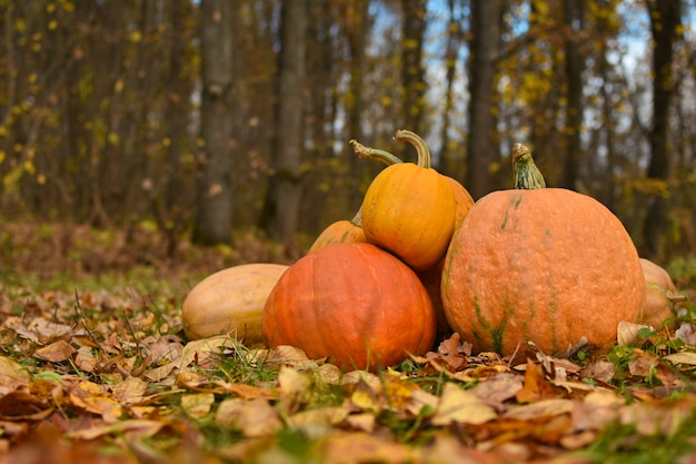Citrouilles jaune vif se trouvent sur le feuillage d'automne dans la forêt, halloween