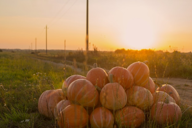 Citrouilles orange sur champ rural au coucher du soleil