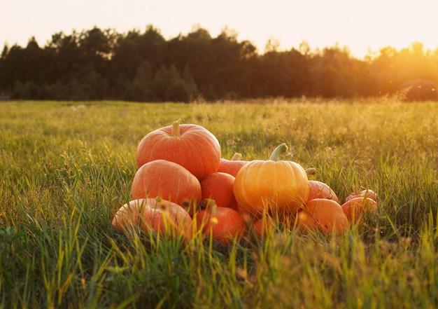 Citrouilles orange sur l'herbe au coucher du soleil