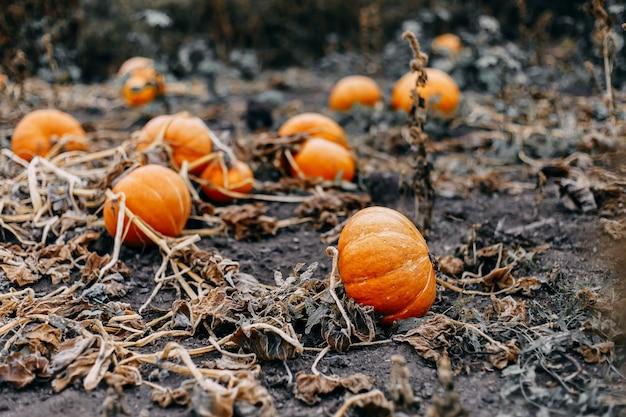 Citrouilles orange mûres avec vigne sur le terrain en automne