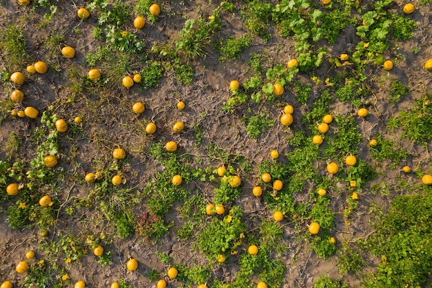 Citrouilles poussant sur le sol à partir de la vue aérienne