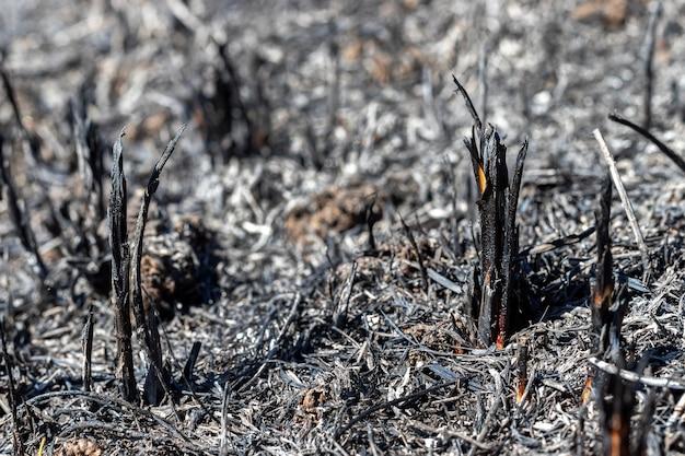 Clairière après le feu avec de l'herbe brûlée et des branches noires de plantes.