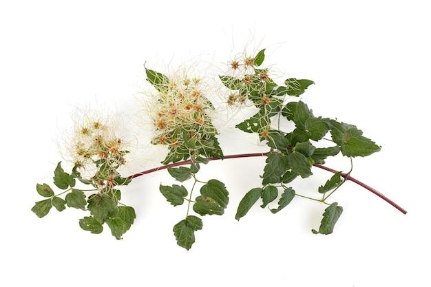 Clematis vitalba comme plante envahissante sur fond blanc