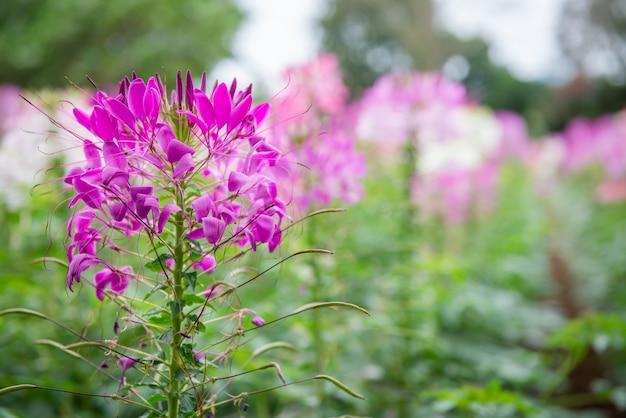 Cleome spinosa ou fleur d'araignée rose dans le jardin