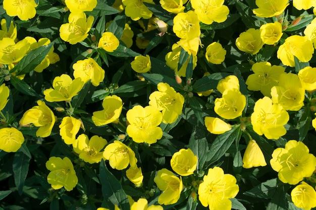 Cloches jaunes d'oenothera, d'onagre, de suncups ou de sundrops
