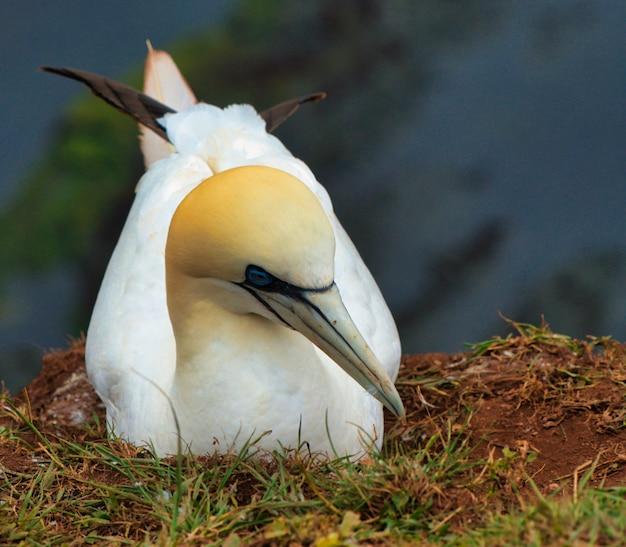 Cloe up d'un nid d'oiseau grenat nordique
