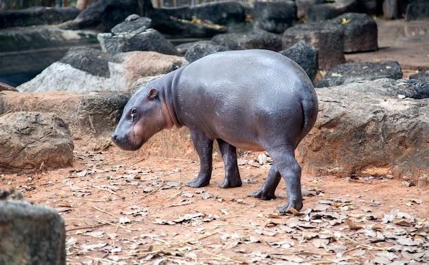 Close up animal hippopotame marchant sur l'étang au zoo