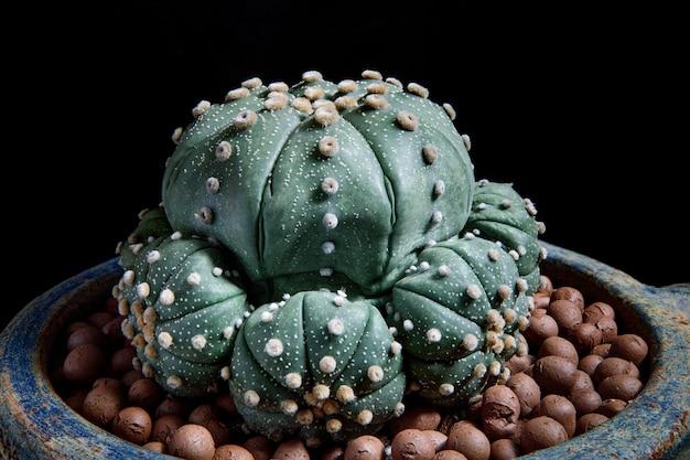 Close up astrophytum asterias cactus en pot de plantation
