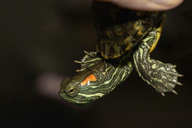 Close up le bébé tortue à oreilles rouges est animal de compagnie chez l'homme doigt à la maison en thaïlande