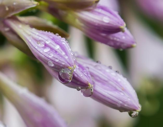 Close up de boutons floraux couverts de gouttes de pluie