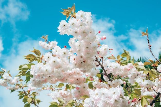 Close-up branche en fleurs avec des boutons de fleurs blanches de cerisier ou sakura