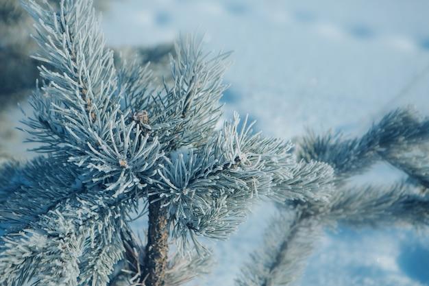 Close-up de branche de pin gelé.