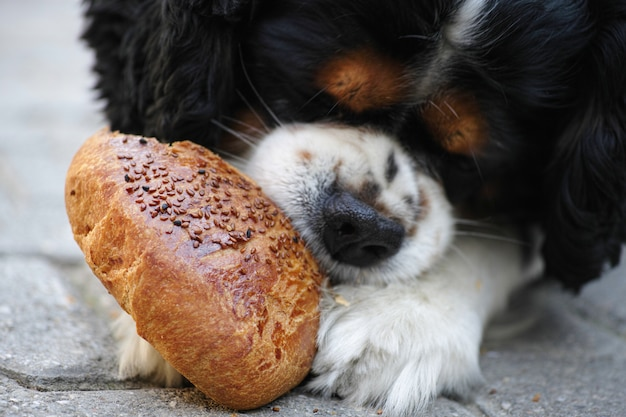 Close-up de chien affamé de manger du pain