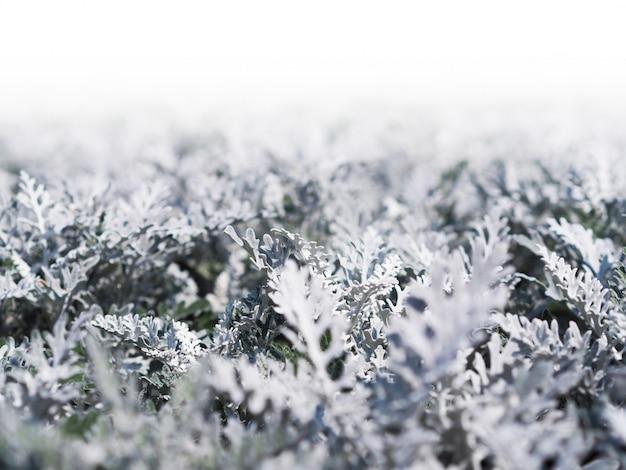 Close up cineraria plante pousse sur le parterre de fleurs.