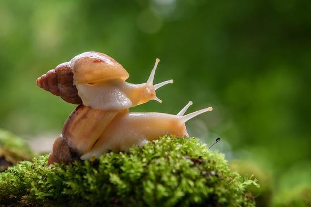 Close up escargot brun (escargot africain, achatina fulica) rampe sur le de la mousse verte