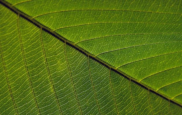 Close up de feuilles de dillenia indica, communément connu sous le nom de pomme éléphant