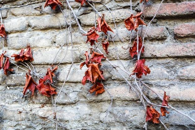 Close up de feuilles séchées d'automne sur le mur