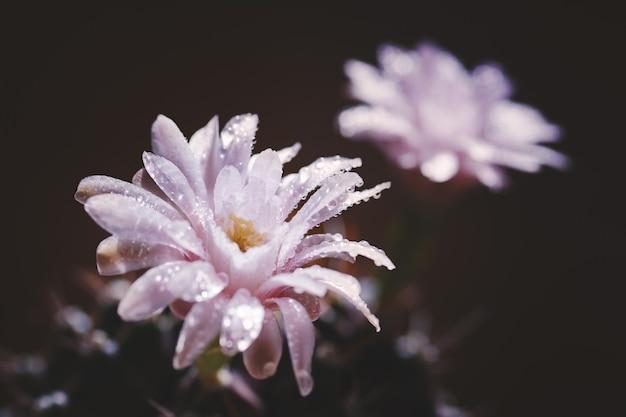 Close up fleur de cactus avec goutte d'eau