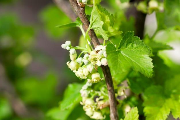 Close-up fleurs de cassis au printemps