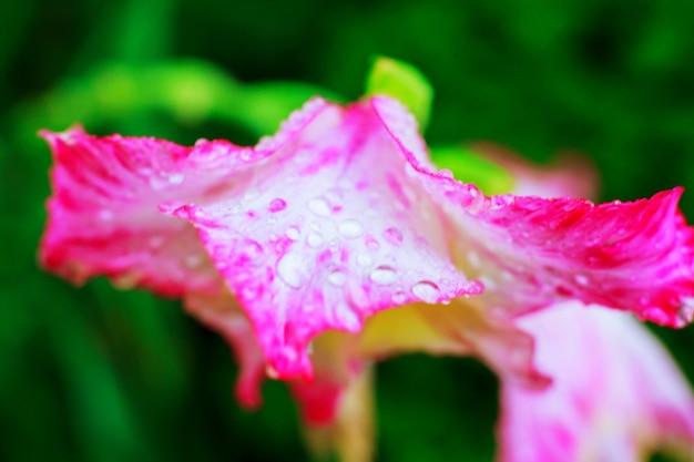 Close up de gouttes d'eau sur pétale de dianthus