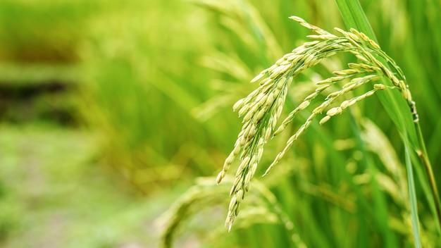 Close up grain de riz paddy vert