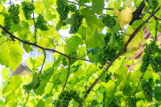 Close up grappe de raisin vert frais sur la vigne avec des feuilles vertes dans le vignoble. fruit