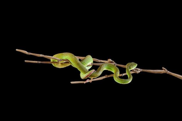 Close up green pit viper snake dans le jardin sur fond noir ont un chemin