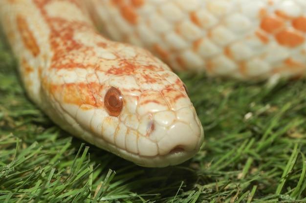 Close up head snake corn ont la couleur orange et blanc dans le jardin