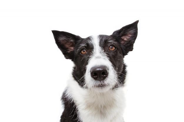 Close-up inquiet ou triste chien border collie.