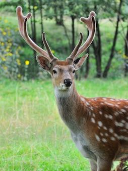 Close-up jeune cerf de virginie debout en bois d'été