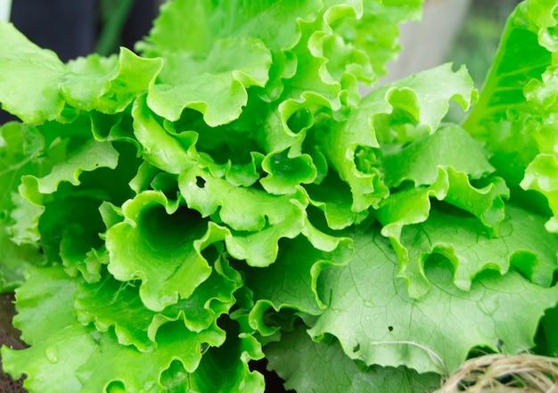 Close-up de laitue verte fraîche. le concept d'une alimentation saine et des végétaliens