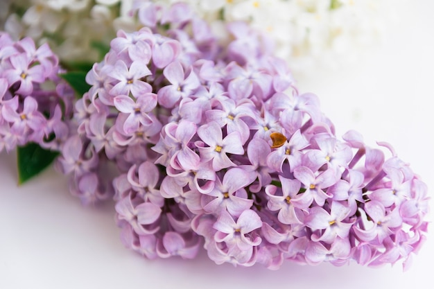 Close up lilas violets avec des feuilles