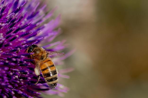 Close up of bee recueille le miel du chardon