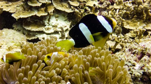 Close up of black anemone fish aux maldives.